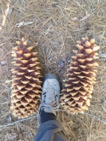 Sugar Pine cones in Yosemite Valley