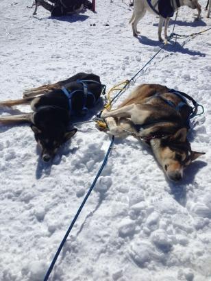 Dog sled team on the summit
